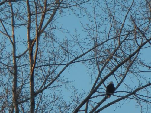 Strathcona Park Eagle
