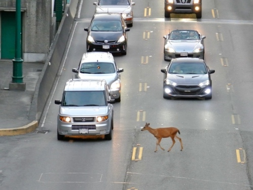 downtown-deer